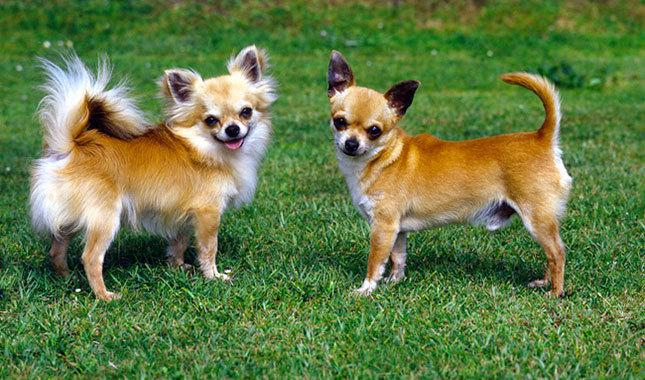 Chihuahua – What's good and bad about the breed